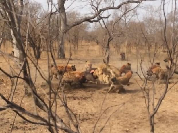 Alcateia de hienas expulsou três leoas ao disputar carcaça em parque sul-africano (Foto: Reprodução/YouTube/Kruger Sightings)
