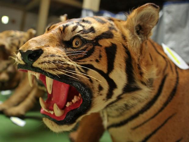 Tigres sumatra 2 (Foto: Bay Ismoyo/AFP)