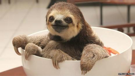 As bebês preguiças são pesadas regularmente para verificar o seu crescimento (Fot Stellar Tsang/BBC)