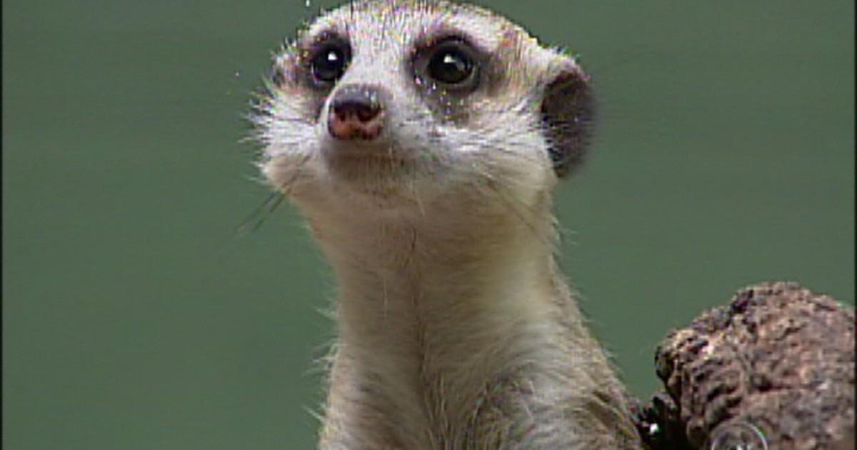 g1 zoológico de sorocaba sp ganha integrante da dupla timão e