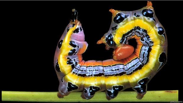 Na foto acima, a Dasylophia anguina, em uma postura defensiva (Foto: Samuel Jaffe/Divulgação)