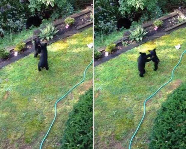 Scot Frerman filmou uma 'luta fofa' entre dois filhotes de urso  (Foto: Reprodução/YouTube/Scot Frerman)