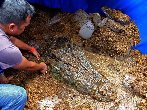 'Lolong' está guardado em água salgada e resfriada por blocos de gelo, enquanto os tratadores, que não sabem a causa da morte do crocodilo, esperam pela autópsia do corpo do animal. (Foto: Erwin Mascarinas / AP Photo)