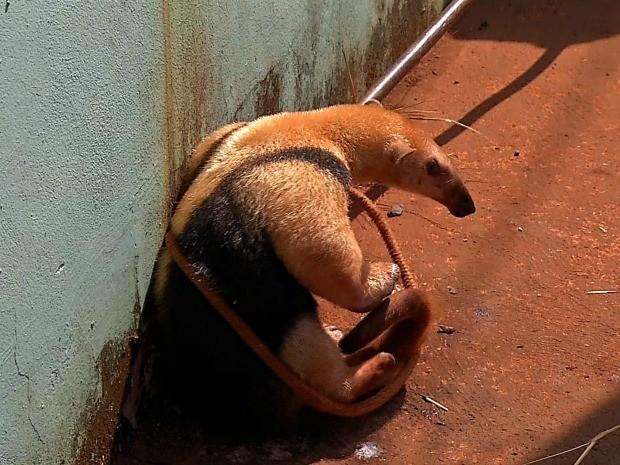 Tamanduá foi resgatado em Tangará da Serra (Foto: Reprodução/TVCA)