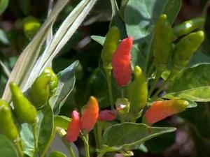 Pimenta Malagueta (Foto: Reprodução/TV Integração)