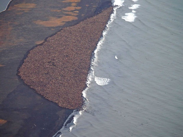 Cerca de 35 mil morsas são vistas na costa do Alasca, próximo a Point Lay, em foto aérea de 27 de setembro (Foto: AP Photo/NOAA, Corey Accardo)