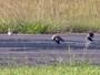 Pedestres se arriscam ao atravessar em pista de aeroporto em Poços, MG