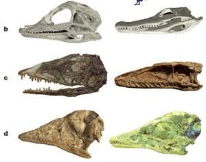 Espécies de dinossauros comparadas; jovem à esquerda e adulto à direita. Crânio de jacaré americano (aligátor) (letra b); dinossauro primitivo Celófise (letra c) e Archaeopteryx (letra d). (Foto: Reprodução/Nature)