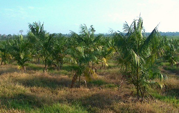 Açaí é plantado junto com a banana (Foto: Bom Dia Amazônia )