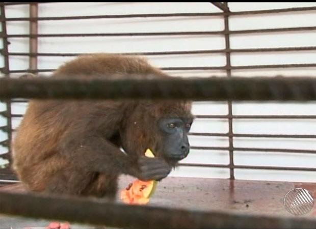Macaco encontrado pela PRF recebe tratamento e já se alimenta na Bahia (Foto: Reprodução/TV Sudoeste)