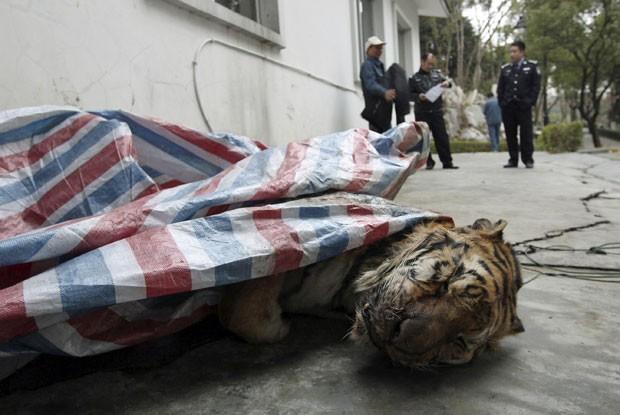 Corpo de tigre é visto dentro de porta-malas de automóvel em cidade chinesa. Polícia suspeita que exemplar seja um tigre-siberiano ou um tigre-de-Amur (Fot Reuters/China Daily)