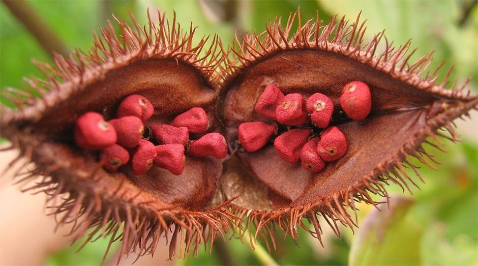Urucum: fruto deu origem a pomada cicatrizante  (Foto: Wiki Commons)