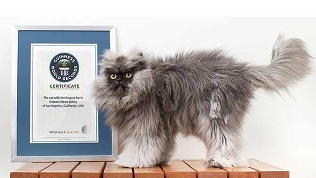 Gato entra para o livro dos recordes por ter o pelo mais comprido do mundo (Foto: Divulgação/ Guinness World Records)