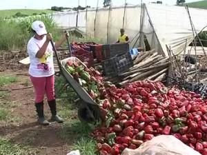 Produtores de pimentão jogam o produto no lixo  (Foto: Reprodução/TV TEM)