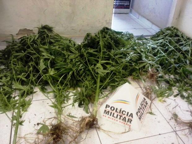 Pés de maconha eram cultivados no quintal de casa, em Ouro Preto. (Foto: Polícia Militar/ Divulgação)
