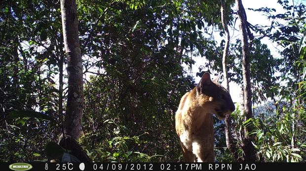 Reserva para proteger macaco atrai também onça em Minas