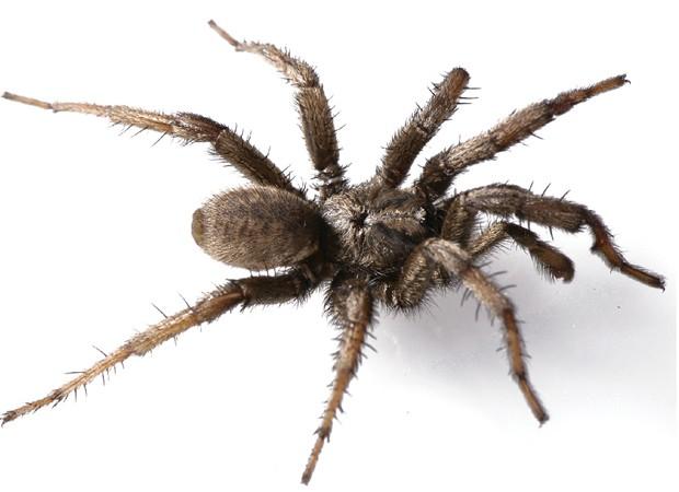 """Aranha da espécie 'Aptostichus angelinajolieae', descoberta pelo mesmo pesquisador em 2008 (Foto: Divulgação/""""ZooKeys"""")"""
