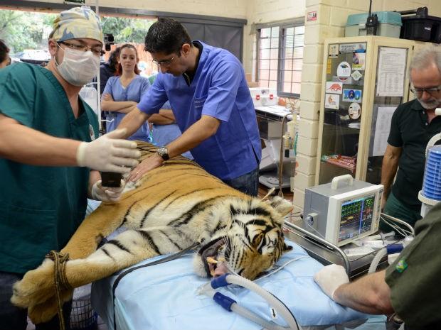 Trigresa foi anestesiada e examinada por vários profissionais (Foto: Zaqueu Proença)