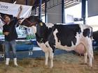 Cabeça de vaca leiteira custa, em média, R$ 2.912,00 em Rondônia