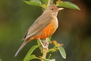 Sabiá é ave-símbolo do Brasil (Rudimar Narciso Cipriani)