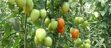 Produtores aproveitam e investem no tomate (Reprodução/ TV TEM)