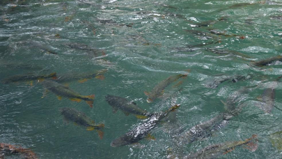 Águas cristalinas do rio Formoso, no Geopark, permitem ao visitante ver espetáculo oferecido por centenas de peixes (Foto: Anderson Viegas/G1 MS)