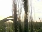 Clima tem sido maior preocupação de produtores de trigo no Paraná