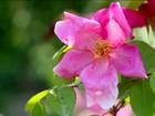 Jardim em Roma tem mais de mil rosas com cores e aromas diferentes