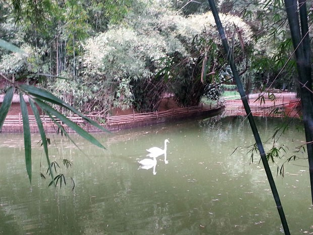 Cisnes brancos e negros disputam território no Museu Mariano Procópio  (Foto: Roberta Oliveira/G1)