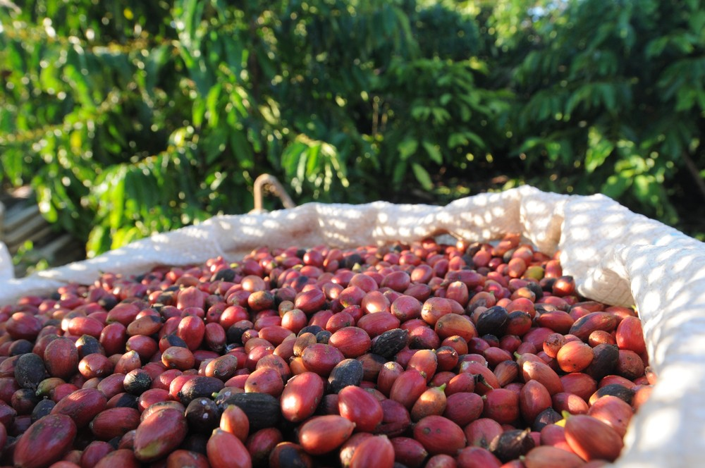 Produtores do ES têm expectativa de colheita de café conilon maior em 2017