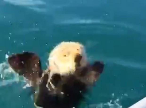Assustada, lontra mergulhou rapidamente (Foto: Reprodução/LiveLeak/Dcmfox)