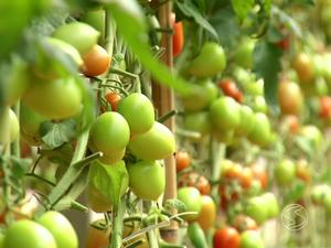 Tomates protagonizam produção rural de Paty do Alferes (Foto: Reprodução/TV Rio Sul)