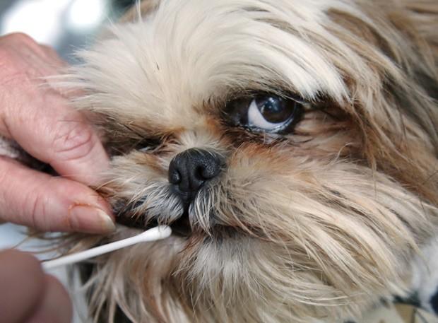 Cachorra Justine tem amostra de DNA retirada para banco de dados do condomínio; sua dona, a gerente do condomínio Barbara Kansky contratou um serviço que identifica donos que não limpam o cocô dos animais por testes de DNA. (Foto: AP Photo/Elise Amendola)