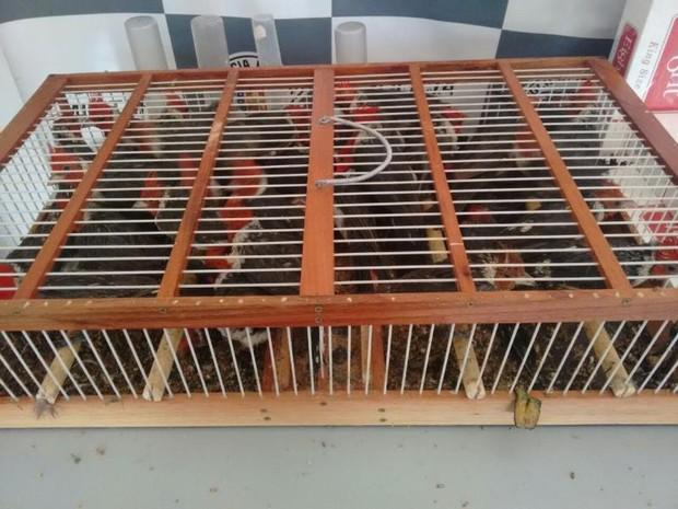 Pássaros eram transportados em gaiola pequena (Foto: Polícia Rodoviária/ Divulgação)