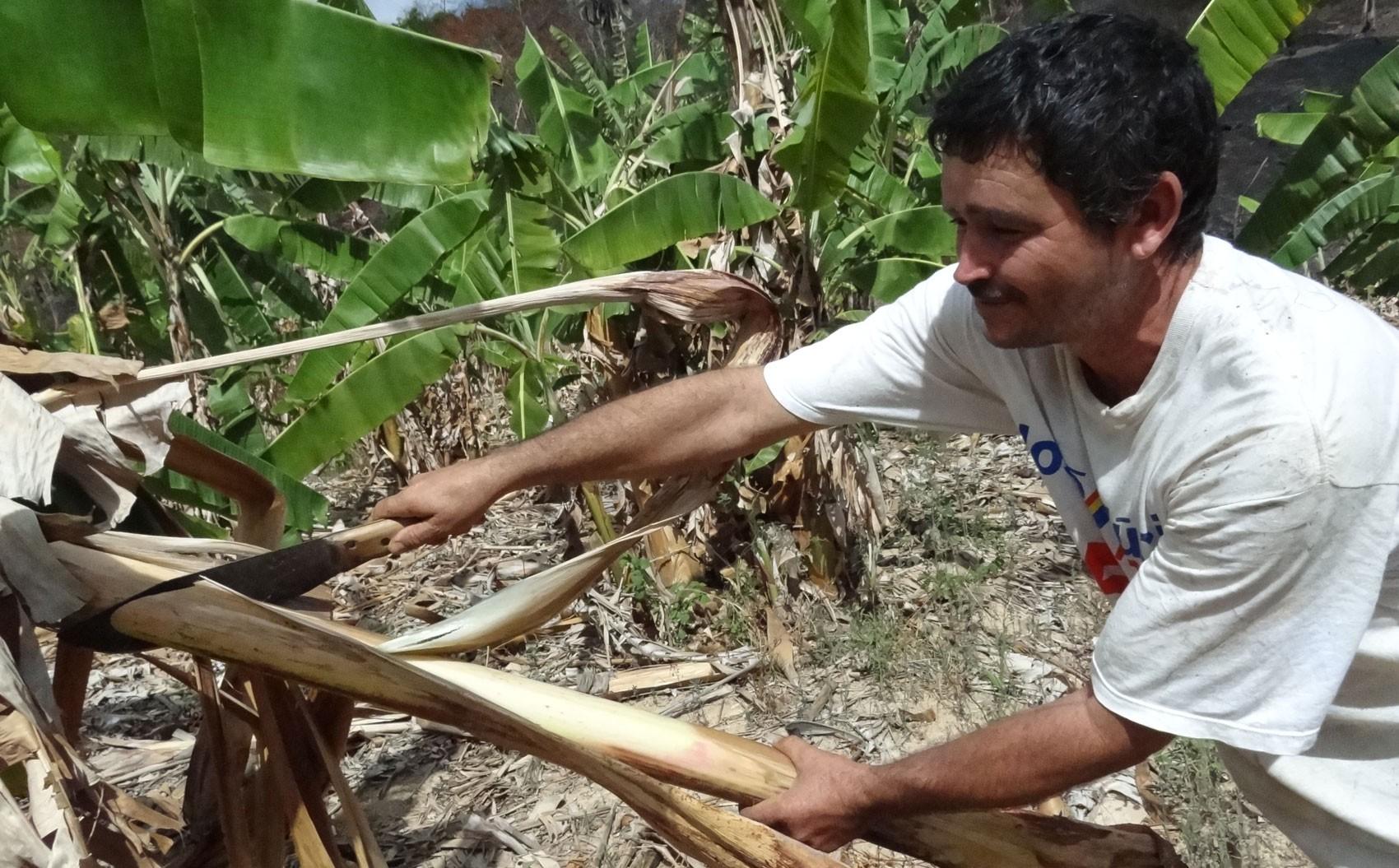 Caule das bananeiras que não cresceram servem como alimento para o gado, em Brejo da Madre de Deus. (Foto: Luna Markman/ G1)