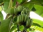 Agrônomo explica que alguns tipos de bananas podem ter sementes