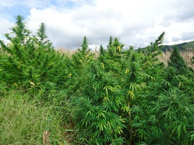 Mais de três mil pés da droga estavam no meio da plantação de milho (Foto: Jonei Farias / Arquivo pessoal)