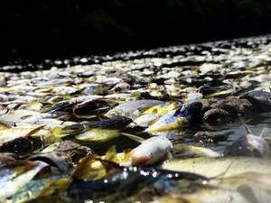 Milhares de peixes são encontrados mortos no Rio Piracicaba (Foto: Mateus Medeiros/Arquivo pessoal)