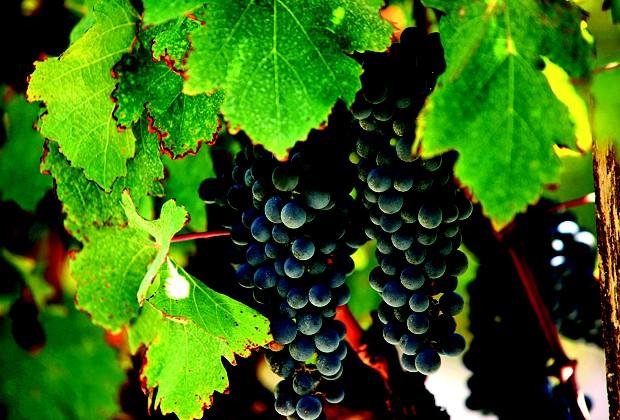 As uvas Merlot são matéria prima para os vinhos (Foto: Manoel Marques)