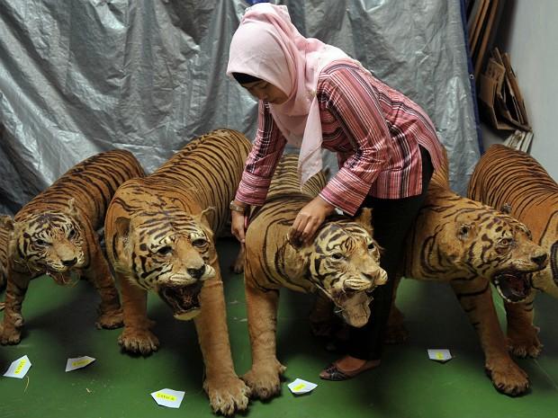 Tigres sumatra (Foto: Bay Ismoyo/AFP)