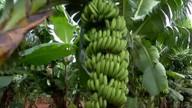 Pesquisa doa mudas para incentivar o cultivo de bananas