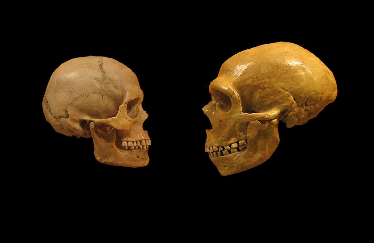 o crânio de um humano vs. o de um neandertal (Foto: wikimedia commons)