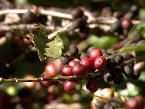 Para conquistar novos mercados, produtores investem no café orgânico (Foto: Reprodução/EPTV)
