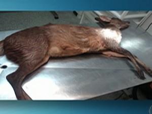 Veado é encontrado em residência de Mogi das Cruzes (Foto: Reprodução/ TV Diário)