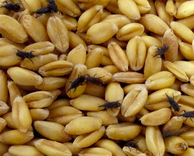 Pequenos besouros que abrigam bactérias dentro do organismo caminham por grãos (Foto: Divulgação/Universidade de Utah)