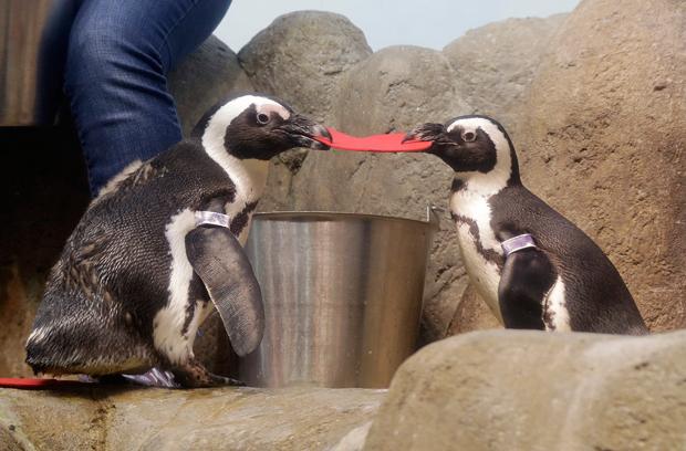 Pinguins 'brigam' por coração do Dia dos Namorados em aquário nos EUA (Foto: Jeff Chiu/AP)