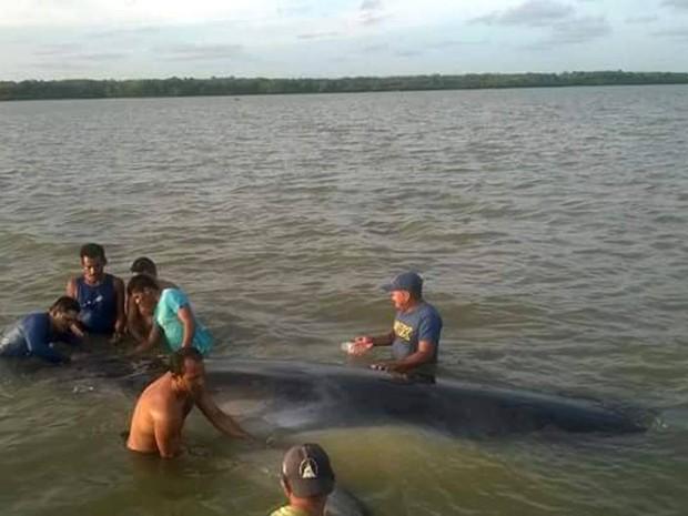 Resultado de imagem para Uma baleia da espécie balaenoptera foi encontrada encalhada no rio Marapanim, que fica na cidade que tem o mesmo nome, no nordeste do Pará. Biólogos do Museu paraense Emílio Goeldi estão a caminho do local na manhã desta sexta-feira (7) para tentar salvar o mamífero.
