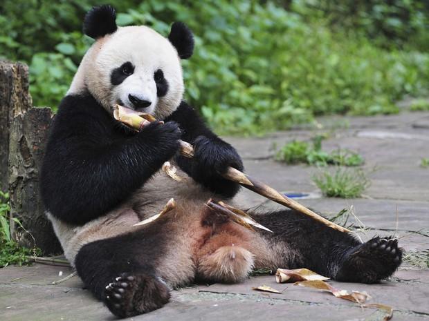 Um dos pandas da província de Sichuan come bambu no centro de criação  (Foto: REUTERS/China Daily)