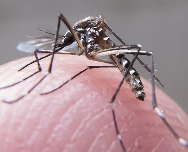 Aedes aegypti, o mosquito que transmite o vírus zika (Foto: Rafael Neddermeyer/ Fotos Públicas)