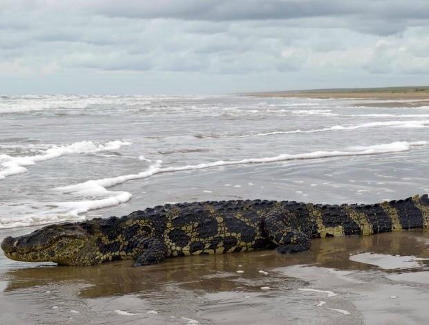 Especialistas acredita que animal chegou em praia por canais de água doce (Foto: Rodrigo Moreira/Divulgação)